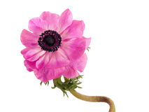 Fleur rose tordue d'anémone, d'isolement au-dessus du blanc photos libres de droits