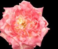 Fleur rose variée rose sur le noir photo stock