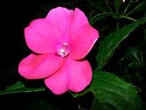 Fleur rose vibrante Images libres de droits