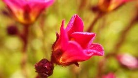 Fleur rose vibrante avec le centre d'or de pollen Images libres de droits