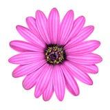 Fleur rose violette d'Osteosperumum d'isolement sur le blanc Images libres de droits