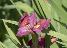 fleur Rougeâtre-pourpre et jaune d'orchidée avec l'abeille, Dallas Arboretum images libres de droits