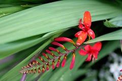 Fleur rouge étonnante Photos libres de droits