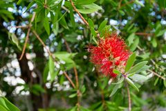 Fleur rouge étrange sur la branche Photos libres de droits