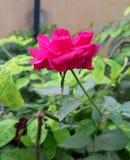 Fleur rouge image stock