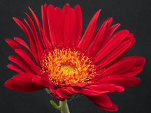 Fleur rouge Photographie stock libre de droits