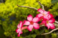 Fleur rouge (Adenium Obesum) Images libres de droits