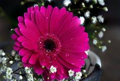 Fleur rouge avec des baisses de l'eau sur des pétales Image stock