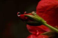 Fleur rouge avec des gouttelettes Photographie stock libre de droits