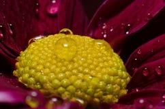 Fleur rouge avec des gouttelettes Photo libre de droits