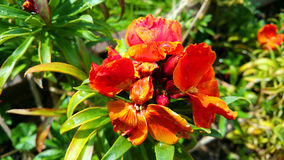 Fleur rouge avec l'eau de pluie Image libre de droits
