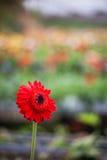 Fleur rouge avec le fond brouillé par vert Photographie stock libre de droits
