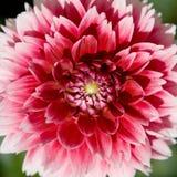 fleur Rouge-blanche de méson pi Images stock