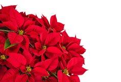 Fleur rouge d'étoile de poinsettia ou de Noël Photos stock
