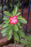 Fleur rouge d'Adenium dans Chonburi, Thaïlande Image stock