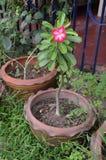 Fleur rouge d'Adenium mis en pot dans Chonburi, Thaïlande Photo stock