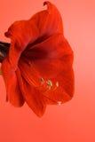 Fleur rouge d'amaryllis Images stock