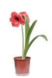 Fleur rouge d'amaryllis d'isolement sur le blanc Image stock