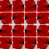 Fleur rouge d'Amaryllis disposée comme fond Images libres de droits