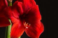 Fleur rouge d'amaryllis sur le fond noir Hortorum de Hippeastrum Photographie stock