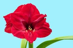 Fleur rouge d'amaryllis sur un fond bleu, l'espace libre sur l'installation Photo libre de droits