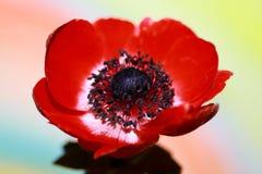 Fleur rouge d'anémone Photos stock