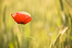 Fleur rouge d'herbe Images stock
