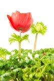 Fleur rouge d'isolement de fleur d'anémone Photo stock