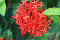 Fleur rouge d'Ixora Photographie stock libre de droits