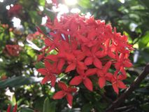 Fleur rouge d'Ixora avec l'éclairage du soleil illustration stock