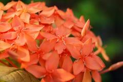 Fleur rouge d'Ixora dans un jardin Images libres de droits