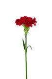 Fleur rouge d'oeillet d'isolement Photos stock