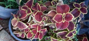 Fleur rouge d'usine de feuilles photographie stock