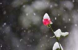 Fleur rouge dans la chute de neige Photo stock
