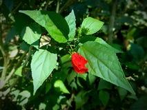 Fleur rouge dans le domaine Photo libre de droits