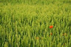 Fleur rouge dans le domaine Photo stock
