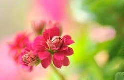 Fleur rouge dans le jardin Image stock