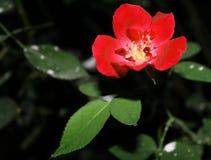 Fleur rouge dans le jardin Photographie stock libre de droits
