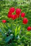 Fleur rouge dans le jardin, tulipe photo libre de droits
