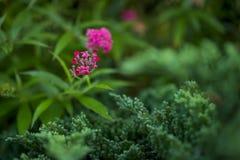 Fleur rouge dans le jardin vert dans moring Photographie stock