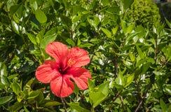 Fleur rouge dans un jardin Photos stock