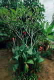 Fleur rouge dans une jungle humide pendant la saison des pluies photos stock