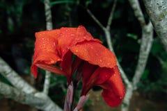 Fleur rouge dans une jungle humide pendant la saison des pluies images libres de droits