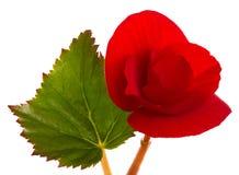 Fleur rouge de bégonia Photographie stock libre de droits
