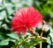 Fleur rouge de balai de bouteille Image libre de droits