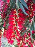 Fleur rouge de bottlebrush images libres de droits