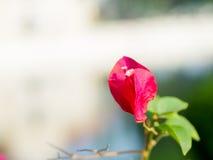 Fleur rouge de bouganvillée Images stock