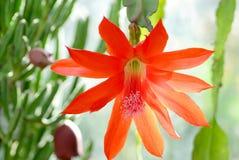 Fleur rouge de cactus Photos stock