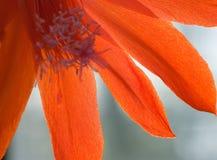 Fleur rouge de cactus Photographie stock libre de droits