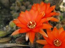Fleur rouge de cactus Image libre de droits